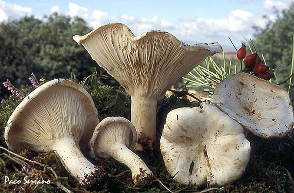 Clitocybe candida